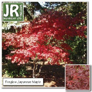 2/3 ft Fireglow Japanese Maple (Branched) : Maple Trees : Patio, Lawn & Garden