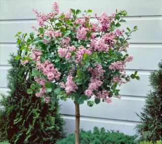 Southern sweet dwarf peach tree on popscreen for Dwarf decorative trees