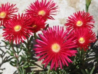 100 Gelato Bright RED ICE PLANT MESEMBRYANTHEMUM DAISY Livingstone Flower Seeds : Patio, Lawn & Garden