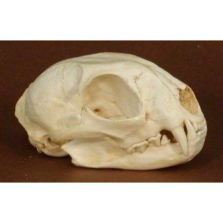 Bobcat Skull Replica: Industrial & Scientific