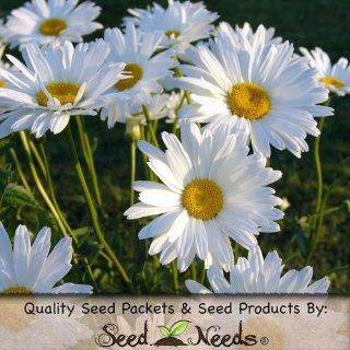 "1, 000 Flower Seeds, Daisy ""Ox Eye"" (Chrysanthemum leucanthemum) Seeds By Seed Needs : Flowering Plants : Patio, Lawn & Garden"