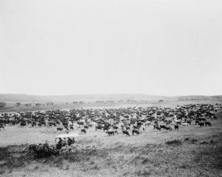 1905 photo Large herd of cattle on a western range, probably in Colorado or U c3   Photographs
