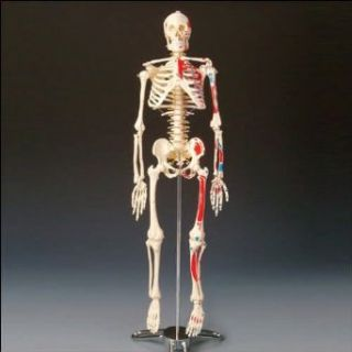 Painted and Numbered Big Tim Skeleton Model CMS65: Industrial & Scientific