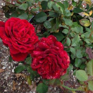 OnlinePlantCenter 2 gal. Red Mr. Lincoln Hybrid Tea Rose Plant R3833G2
