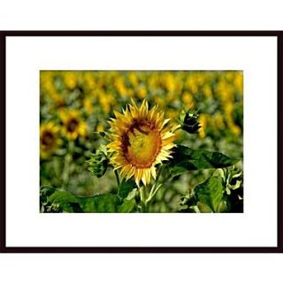 Printfinders Sunflower by John Nakata Framed Photographic Print