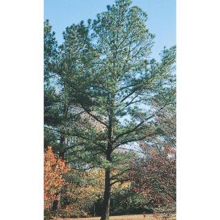 3.74 Gallon Loblolly Pine Feature Tree (L5852)