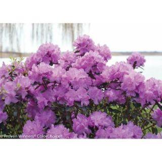 Proven Winners Amy Cotta ColorChoice Rhododendron   4.5 in. Quart RHOPRC1007800